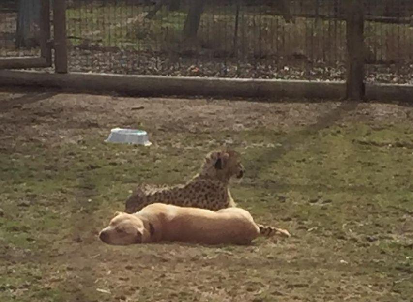 Γατόπαρδοι σε ζωολογικό κήπο κάνουν παρέα με σκύλους! γατόπαρδοι γάτες αιλουροειδή