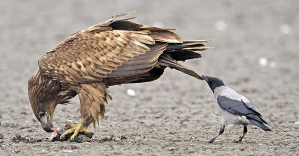 Φωτογραφίες που αποδεικνύουν ότι τα κοράκια είναι τα πιο θαραλλέα ζώα του ζωϊκού βασιλείου