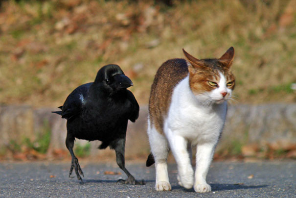 Φωτογραφίες που αποδεικνύουν ότι τα κοράκια είναι τα πιο θαραλλέα ζώα του ζωϊκού βασιλείου κοράκια