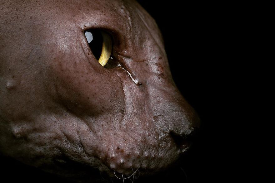 Φωτογραφίες από γάτες σφίγγες που σας θυμήσουν εξωγήινους! σφίγγες γάτες σφίγγες γάτες Γάτα