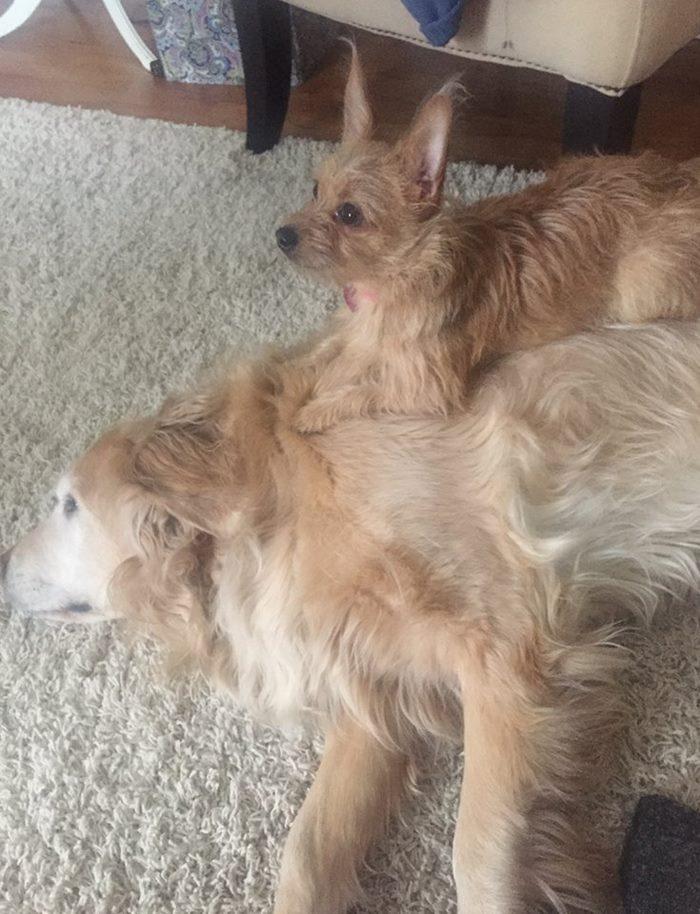 σκύλοι σκυλίτσα Μικρή σκυλίτσα χρησιμοποιεί την…πλάτη του μεγάλου της αδερφού για να κάνει τα πάντα! μικρή σκυλίτσα 21 υπέροχες φωτογραφίες που αποδεικνύουν ότι οι αγελάδες είναι το ίδιο αξιολάτρευτες με τα σκυλιά!