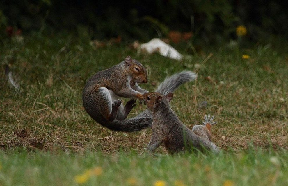Φωτογράφος καταγράφει δύο σκίουρους που μοιάζουν λες και επιτίθενται ο ένας στον άλλον σαν νίντζα! σκίουρος Σκίουροι