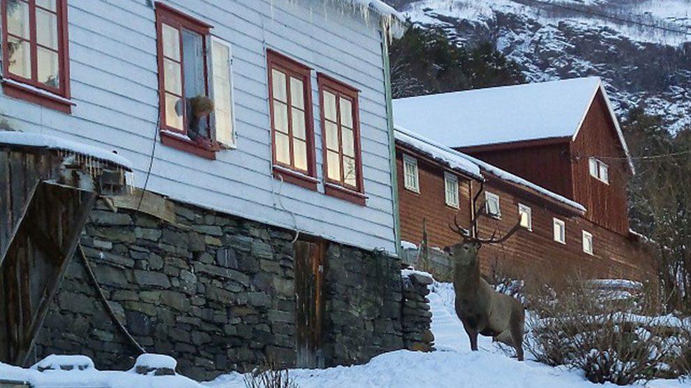 ελάφια Ελάφι που διασώθηκε γίνεται σελέμπριτυ σε μια μικρή πόλη της Νορβηγίας Ελάφι