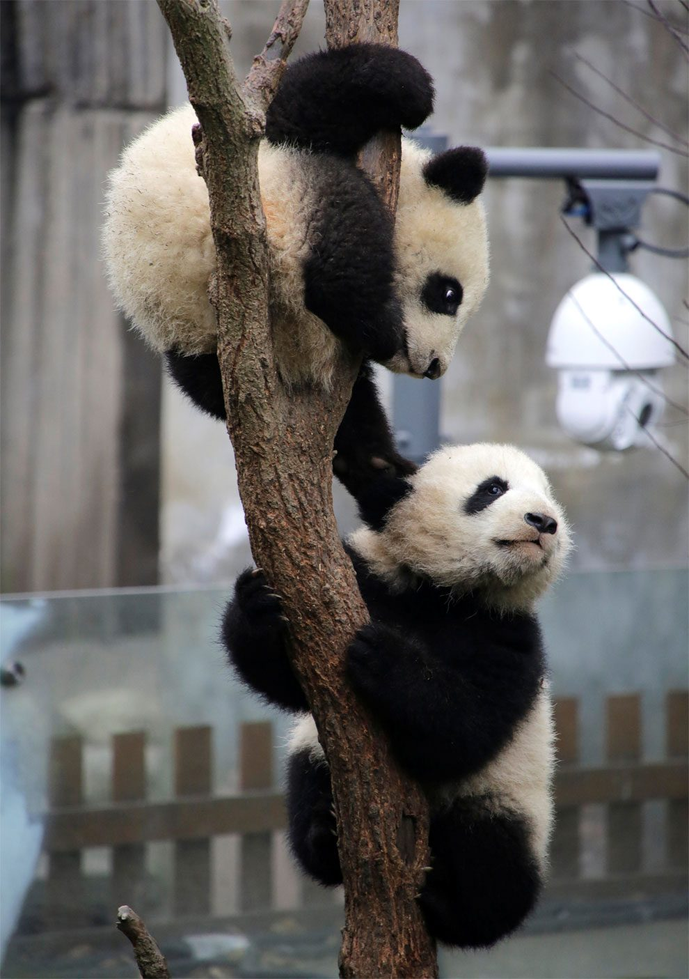 πάντα Δίδυμα πάντα 6 μηνών κάνουν το ντεμπούτο τους στον ζωολογικό κήπο της Chongqing