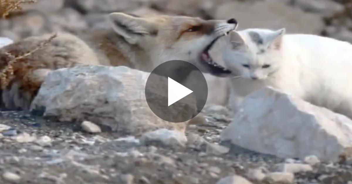 Η αλεπού ήταν έτοιμη να σκοτώσει την γάτα Γάτα αλλά όταν έκανε ζουμ η κάμερα; Μείναμε με ανοιχτό το στόμα! αλεπού