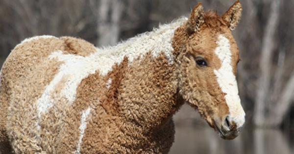 Τα αλογα με σγουρό τρίχωμα είναι τα πιο όμορφα πλάσματα στον κόσμο κι όμως ελάχιστοι γνωρίζουν την ύπαρξή τους
