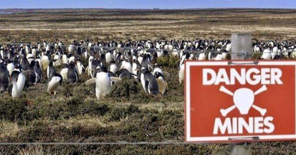 Πως ένα νησί γεμάτο νάρκες βοήθησε στην προστασία του πληθυσμού των πιγκουίνων