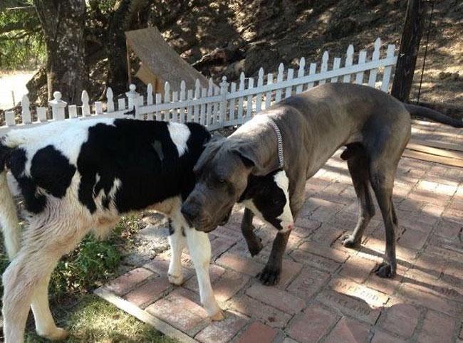 το μοσχαράκι που νομίζει ότι είναι σκύλος! Σκύλος μοσχάρια μοσχάρι μοσχαράκι Γνωρίστε τον Goliath