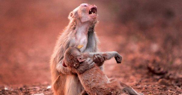 Η σπαρακτική στιγμή μιας μητέρας πιθήκου που βλέπει το παιδί της να καταρρέει