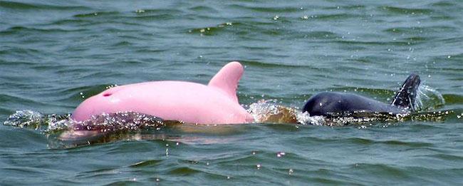 Σπάνιο ροζ δελφίνι βρέθηκε κοντά στην ακτή της Louisiana σπάνιο ροζ δελφίνι ροζ δελφίνια δελφίνι
