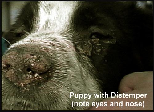 Σκύλος πατούσα νόσος του κάρε