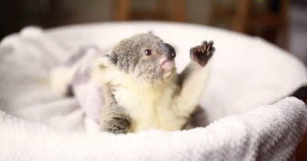 Αξιαγάπητο μικρό κοάλα ποζάρει για την πρώτη του φωτογράφιση!