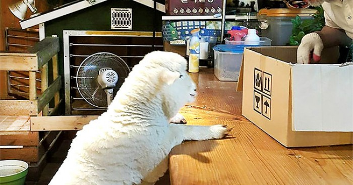 προβατάκια Κορέα καφετέρια