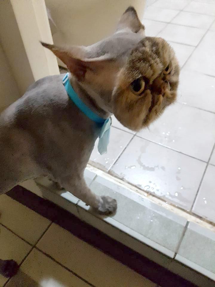 Κούρεμα κουρέας γάτος