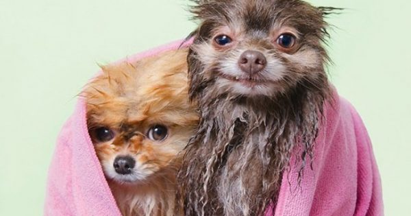 Η Sophie Gamand επιστρέφει φωτογραφίζωντας σκυλάκια μετά το μπάνιο τους