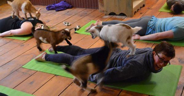 Γιόγκα με κατσίκες: Η μόδα που σαρώνει την Αμερική!