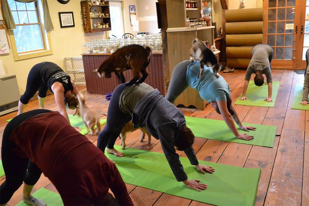 κατσίκες κατσίκα Γιόγκα με κατσίκες: Η μόδα που σαρώνει την Αμερική!