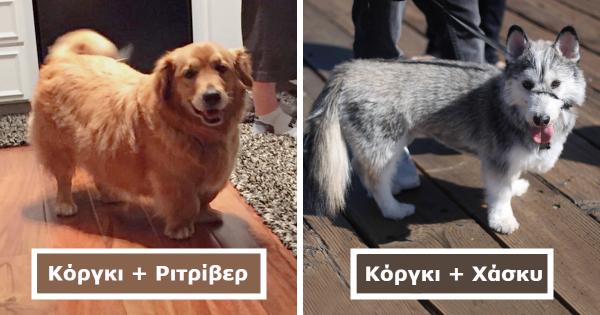 20 Διασταυρώσεις σκυλιών κόργκι με άλλες Ράτσες, που θα σας Αφήσουν με το Στόμα Ανοιχτό!