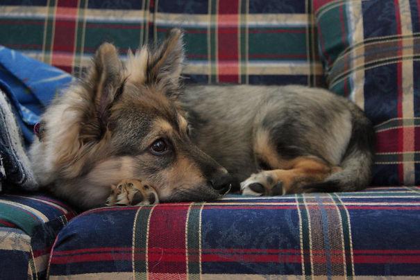 σκυλιά κόργκι σκυλιά κόργκι διασταυρώσεις