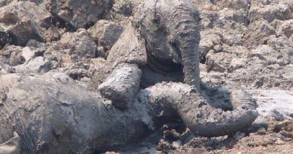 Το μικρό ελεφαντάκι βυθιζόταν στη λάσπη μαζί με την μητέρα του και δεν είχαν καμία ελπίδα. Τότε, συνέβη ένα αληθινό θαύμα…
