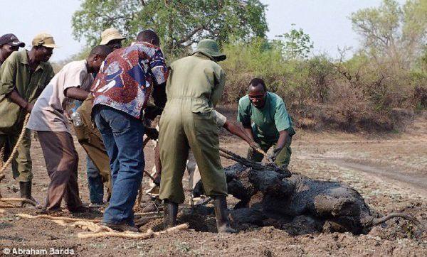 Το μικρό ελεφαντάκι βυθιζόταν στη λάσπη μαζί με την μητέρα του και δεν είχαν καμία ελπίδα. Τότε συνέβη ένα αληθινό θαύμα... ελέφαντες ελέφαντας ελεφαντάκι