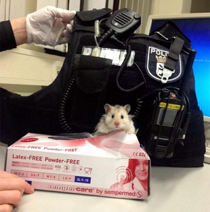 Χάμστερ διασώθηκε από αστυνόμους και πλέον δουλεύει στο αστυνομικό τμήμα μαζί τους χάμστερ τρωκτικά