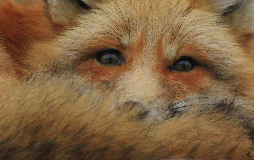 την αλεπού που επισκέπτεται έναν φωτογράφο τους τελευταίους τρείς χειμώνες Γνωρίστε τον Zorro αλεπού