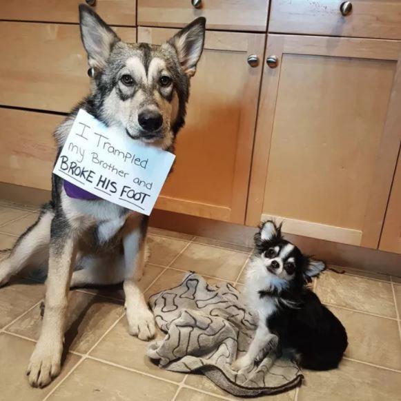 σκυλάκια 15 άτακτα σκυλάκια που τιμώρησαν τους ιδιοκτήτες τους με τον πιο ξεκαρδιστικό τρόπο!