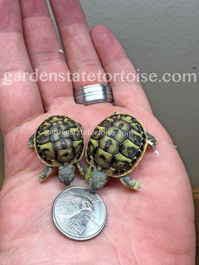 νεογέννητο χελωνάκι έμεινε άφωνος! Είδε ότι το νεογέννητο χελωνάκι δυσκολευόταν να βγει από το αυγό του. Μόλις κατάλαβε τον λόγο