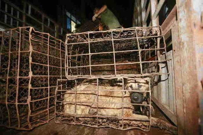 φεστιβάλ Γιουλίν κρέας σκύλου Κίνα