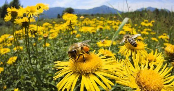 Πρώτες βοήθειες – Ο σκύλος μου τσιμπήθηκε από μέλισσα