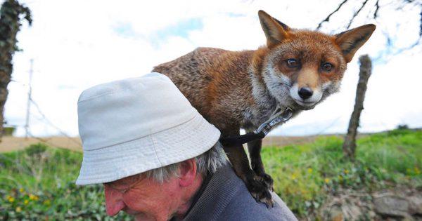 Διασωσμένες αλεπουδίτσες γίνονται κατοικίδια του διασώστη τους