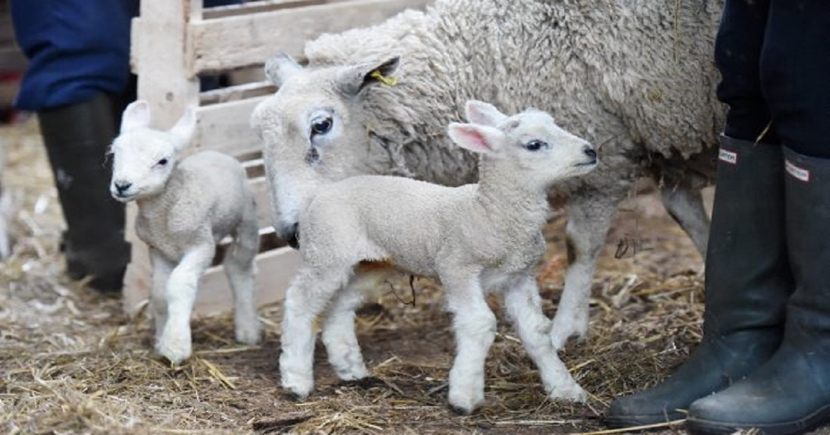Picture: Victoria Wilcox  Ewe gives birth to SIX lambs - which is only one lamb from a world record, we are told!  Pictured is the ewe at Hawkslow with her six babies.