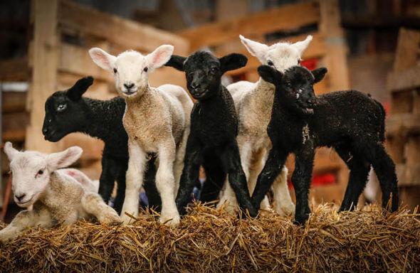 προβατίνα