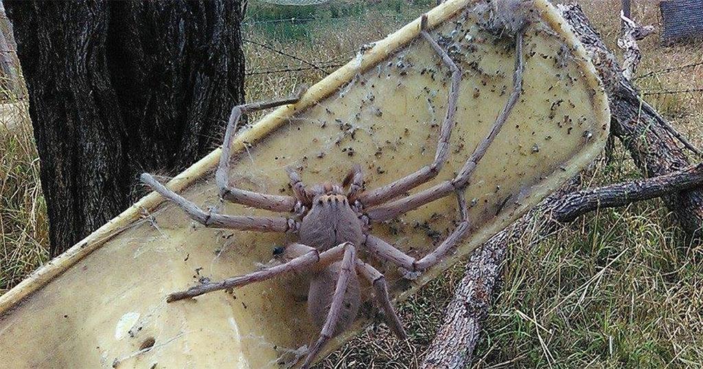 Οργάνωση έσωσε μια αράχνη που έχει το μέγεθος ενός μικρού σκύλου αράχνη