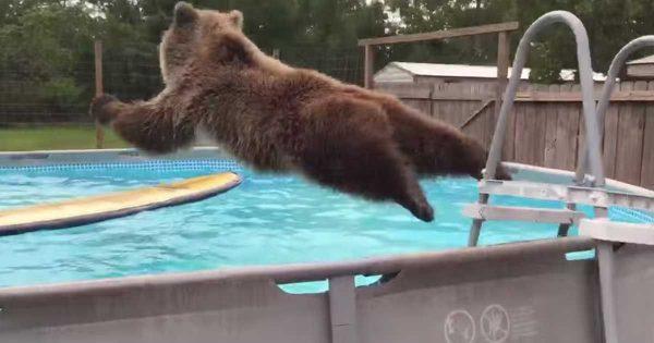 Αυτή η αρκούδα που βουτάει με χάρη μέσα στην πισίνα είναι ο,τι καλύτερο είδαμε σήμερα! Εσείς πόσο θα την βαθμολογούσατε;