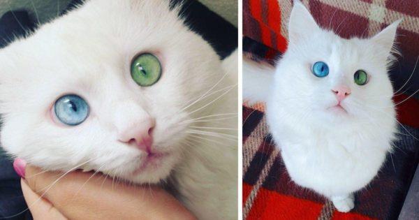 Αυτή η γάτα έχει τα ομορφότερα μάτια διαφορετικού χρώματος που είδαμε ποτέ.