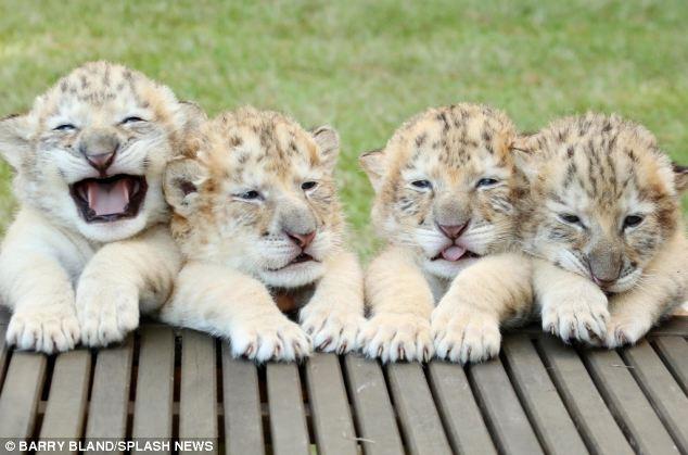 Τίγρης Λευκό λιοντάρι