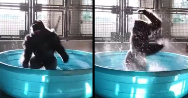 Γορίλας απολαμβάνει τόσο το μπάνιο του που αρχίζει να χορεύει με την ψυχή του