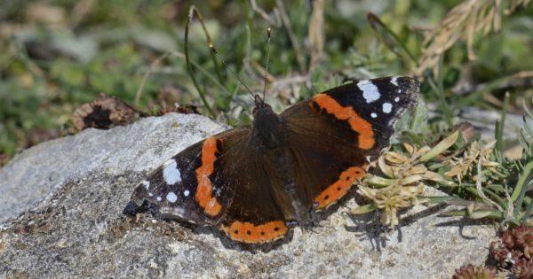 Πάνω από 172 είδη πεταλούδας πετούν αυτή την εποχή στις Πρέσπες (εικόνες)