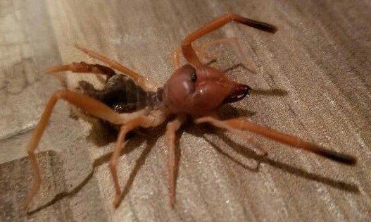 Τι συμβαίνει με τις τρομακτικές αράχνες «camel spider» στην Ελλάδα