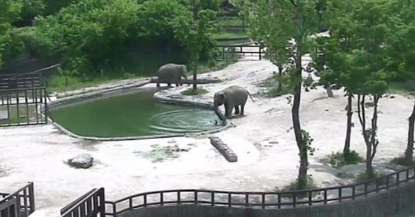 Ελέφαντες σώζουν το μωρό τους από βέβαιο θάνατο