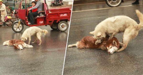 Σκύλος κλαίει και προσπαθεί να ξυπνήσει τον τραυματισμένο φίλο του που χτυπήθηκε από αμάξι
