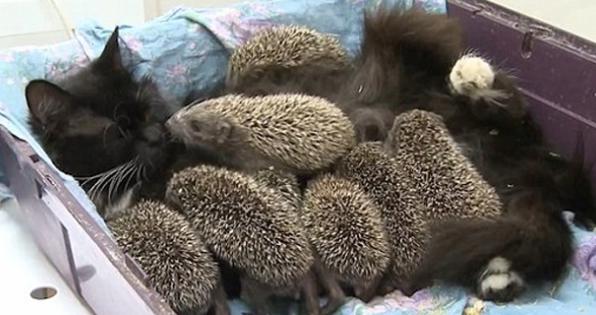 Η δύναμη της μητρότητας: Γάτα θηλάζει οκτώ σκαντζοχοιράκια (video)