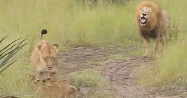 Η υπέροχη στιγμή που ένας πατέρας προσπαθεί να μάθει στα λιονταράκια του να βρυχώνται