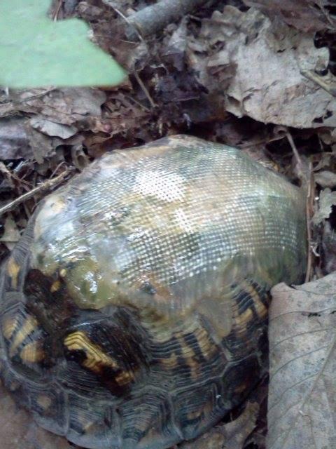 χελώνες χελώνα κτηνίατρος καβούκι χελώνας
