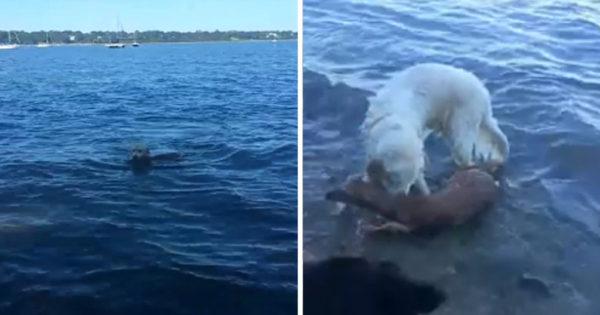 Σκύλος βλέπει ένα ελάφι να πνίγεται και βουτάει να το σώσει