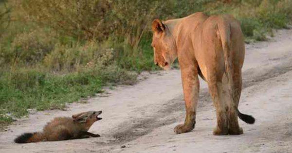 Όταν αυτό το θηλυκό λιοντάρι βρήκε έναν ανυπεράσπιστο μωρό αλεπουδάκι έκανε ΚΑΤΙ που είναι αδύνατο να το πιστέψεις!