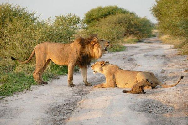 Όταν αυτό το θηλυκό λιοντάρι βρήκε έναν ανυπεράσπιστο μωρό αλεπουδάκι έκανε ΚΑΤΙ που είναι αδύνατο να το πιστέψεις! μωρό αλεπουδάκι μωρό Θηλυκό λιοντάρι