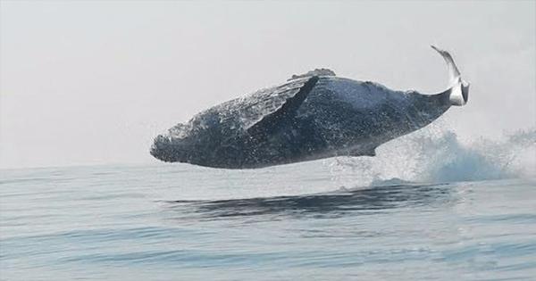 Φάλαινα 40 τόνων πηδάει ολόκληρη έξω από το νερό με τόση άνεση σαν να είναι δελφίνι